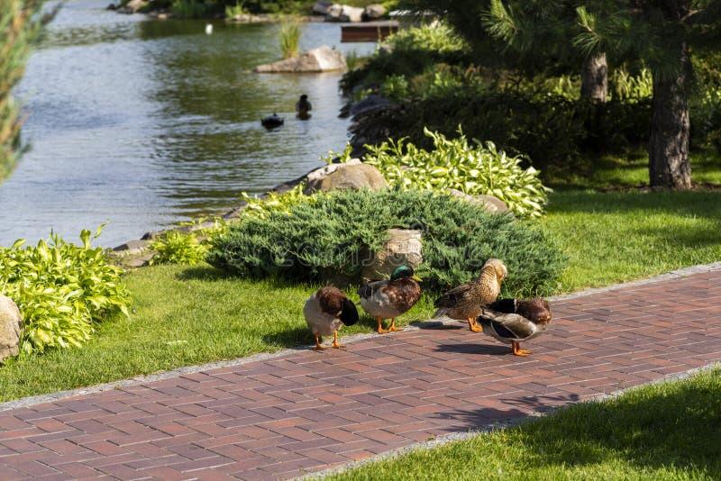 Rodzina dzikie kaczki w kształtuje teren parka zdjęcia stock