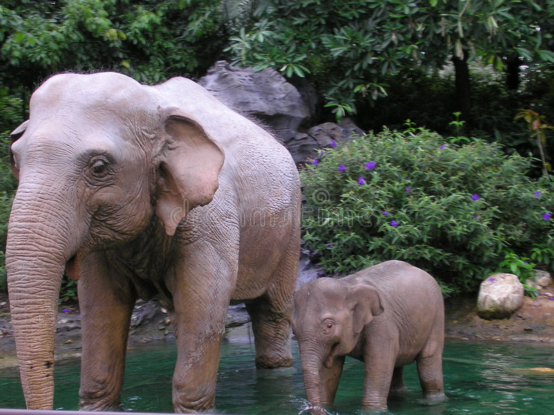 rodzina elefant s zdjęcia royalty free