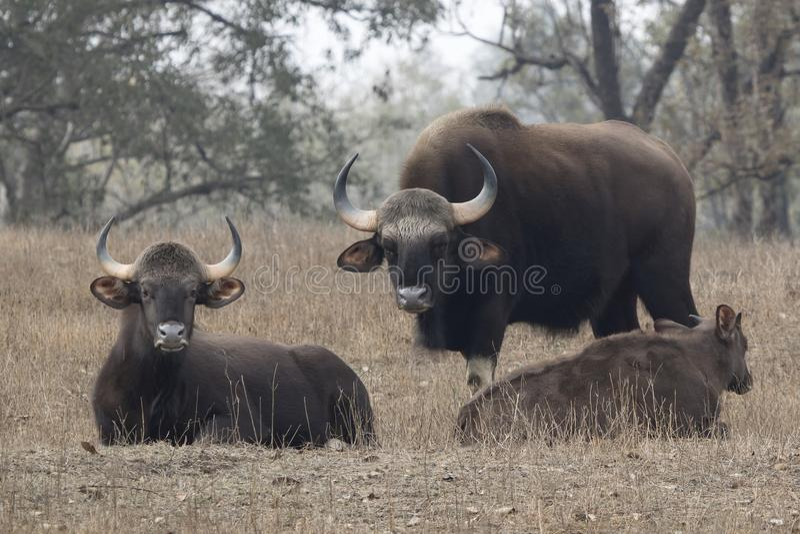 Rodzina gaurs lub Indiański żubr który odpoczywa na mały lasowy uradowanym zdjęcia stock