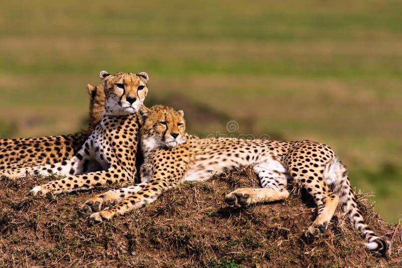 Rodzina gepardy ogląda mara masajów fotografia stock
