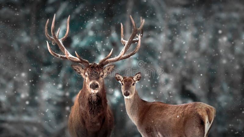 Rodzina jeleni szlachetnych w zimowym lesie śniegu Artystyczny zimowy krajobraz świąteczny Dziki zimowe obraz royalty free