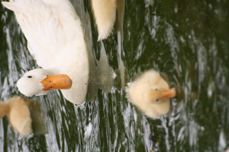 rodzina kaczek zdjęcia stock