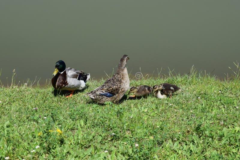 Rodzina kaczki na synusia dniu obrazy stock