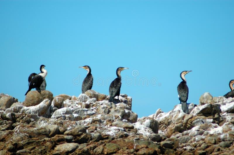 rodzina kormoranów zdjęcia stock