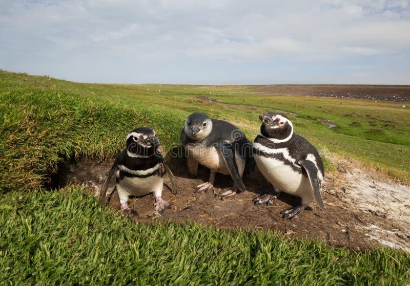Rodzina Magellanic pingwiny stoi norą zdjęcia royalty free