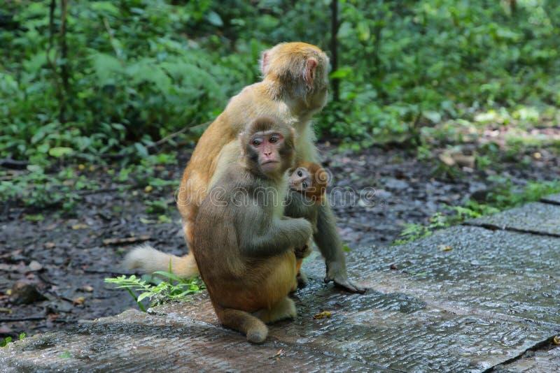 Rodzina makaki w Zhangjiajie parku narodowym, obraz royalty free
