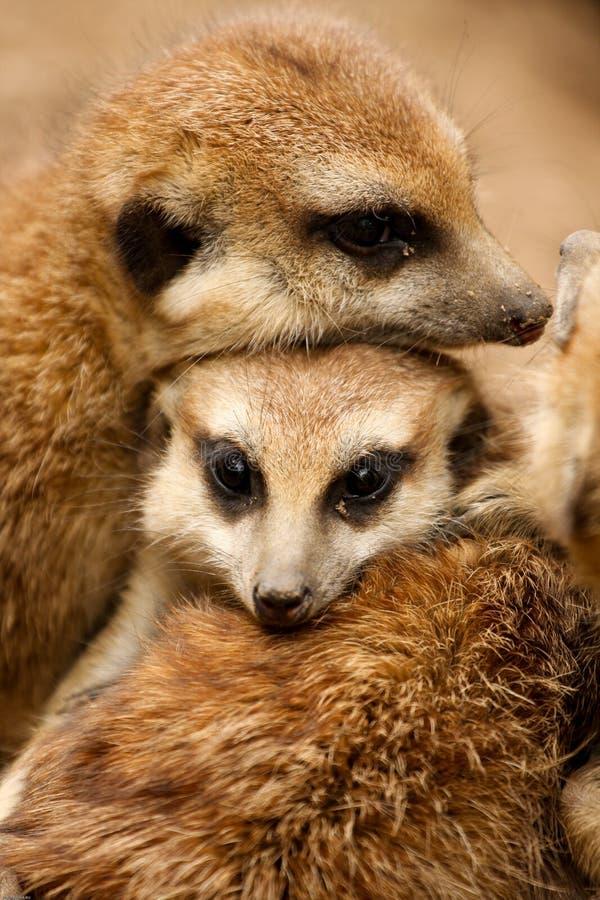 rodzina meerkat obraz royalty free
