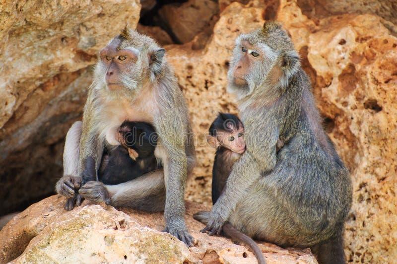 rodzina na bali Indonesia małpy w zoo fotografia stock