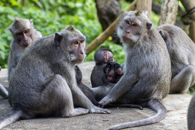 rodzina na bali Indonesia małpy w zoo zdjęcia stock