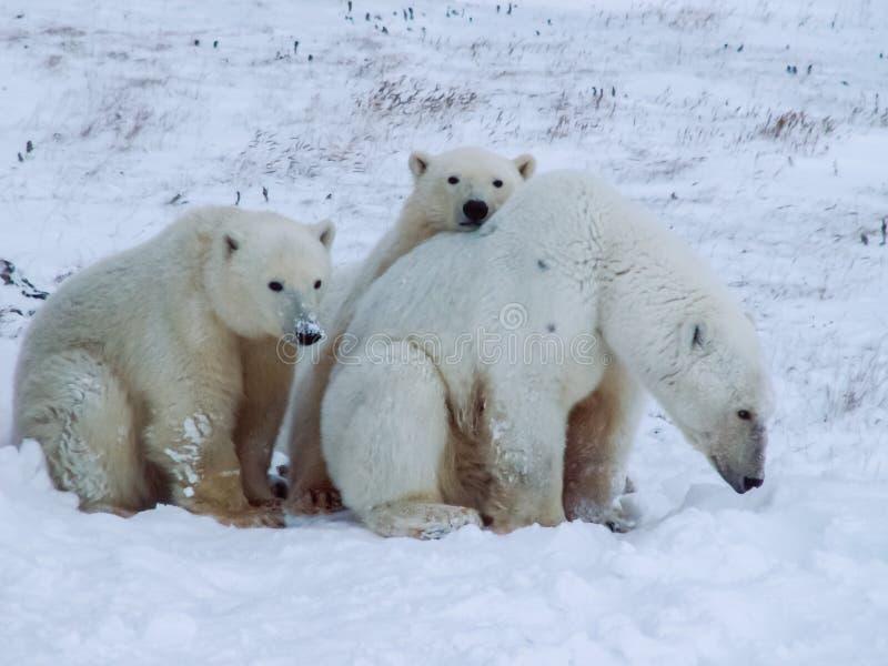 Rodzina niedźwiedzie polarni na Wrangel wyspie obraz stock