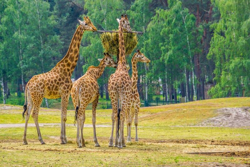 Rodzina nubian żyrafy je siano od basztowego kosza, zoo zwierzęcy karmienie, krytycznie zagrażał zwierzęcego specie od Afryka zdjęcie stock