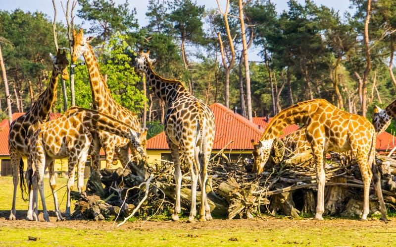 Rodzina nubian żyrafy je wpólnie od sterty gałąź, krytycznie zagrażający zwierzęcy specie od Afryka obrazy royalty free