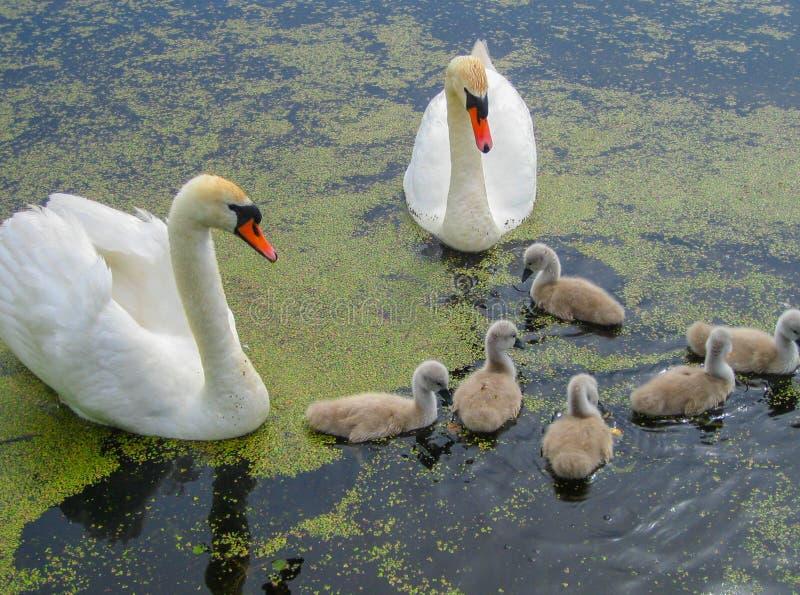Rodzina piękni biali łabędź na wodzie w stawie na naturze zdjęcie royalty free