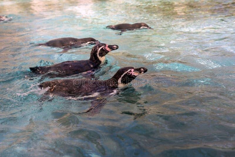 Rodzina pingwiny które pływają zdjęcia royalty free