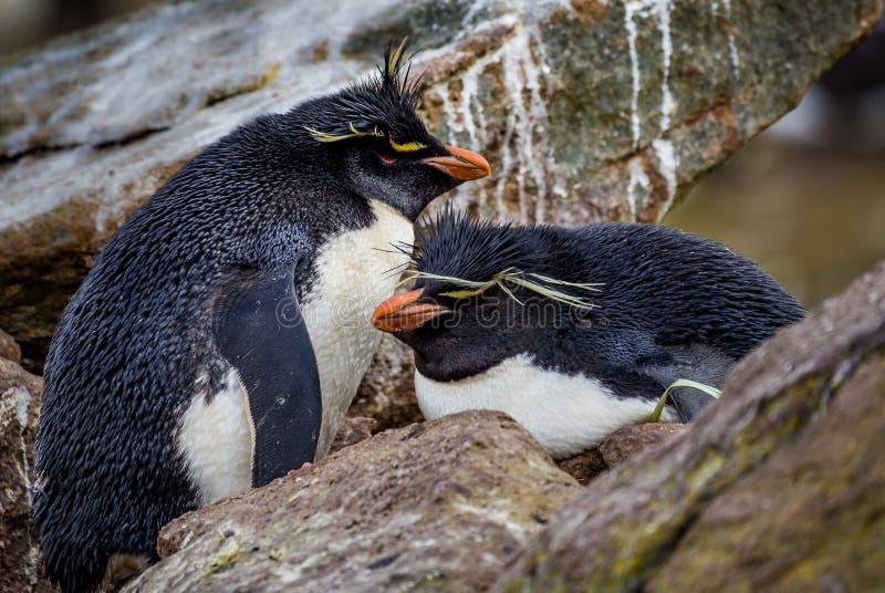 Rodzina Rockhopper pingwiny, jeden obsiadanie na gniazdeczku obraz stock