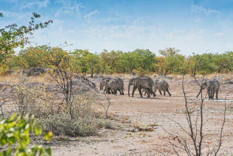 Rodzina słonie w drodze zdjęcie royalty free