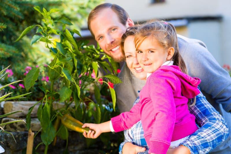 Rodzina zbiera dzwonkowego pieprzu w ogródzie fotografia stock