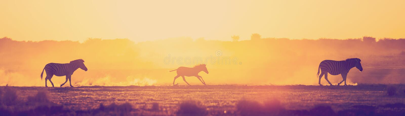 Rodzina Zebra Sunset Botswana Afryka fotografia stock