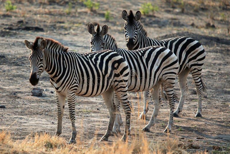 Rodzina zebry pozycja w Afrykańskiej sawannie zdjęcie royalty free