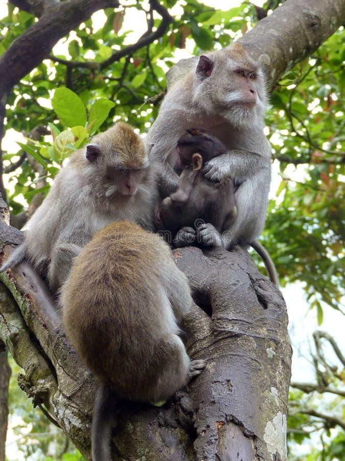rodzinna Bali wyspa małpuje drewno obraz stock
