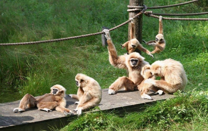 rodzinna radosna małpa zdjęcia royalty free