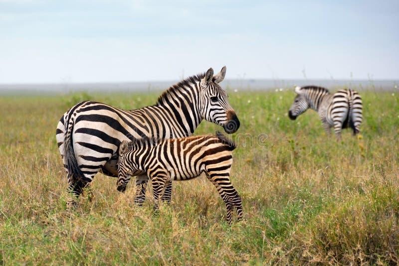 rodzinna zebra obraz stock