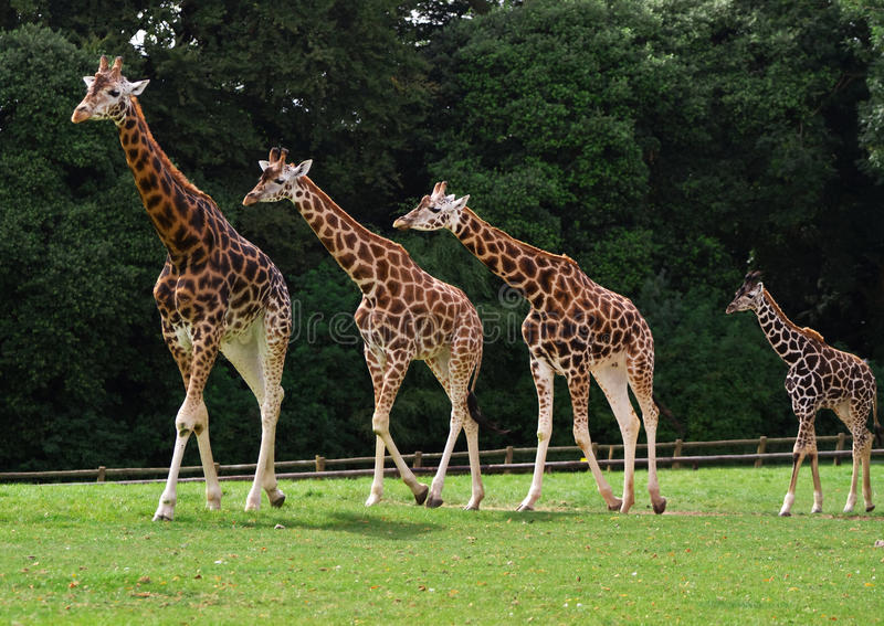 Download Rodzinne żyrafy zdjęcie stock. Obraz złożonej z tło, migreny - 15995624