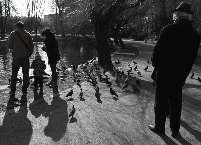 Rodzinni żywieniowi gołębie w central park w Cluj Napoca, Rumunia fotografia royalty free