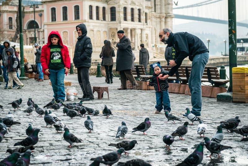 Rodzinni żywieniowi gołębie w Ortakoy, Istanbuł zdjęcia stock