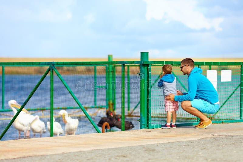 Rodzinni dopatrywanie pelikany i czarni łabędź, padok na jeziorze obraz stock
