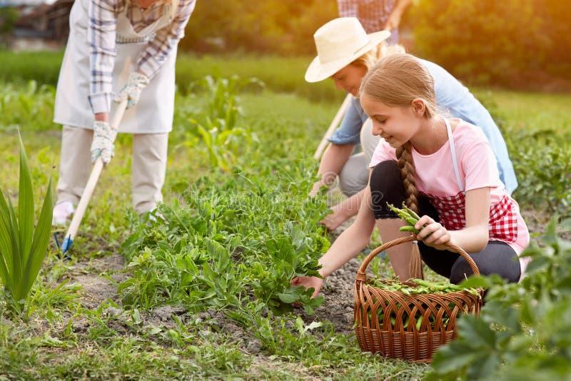 Rodzinni zrywanie grochy w ogródzie zdjęcie stock