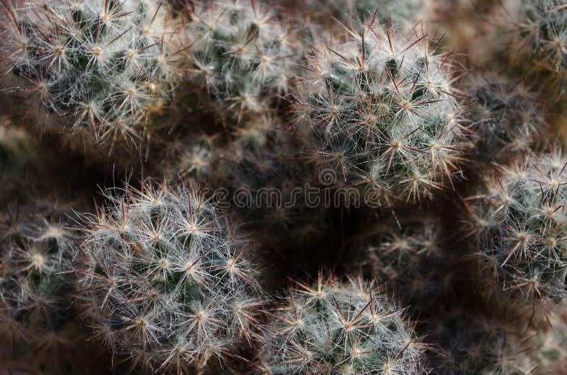 Rodzinny kaktus zamknięty w górę zdjęcia stock