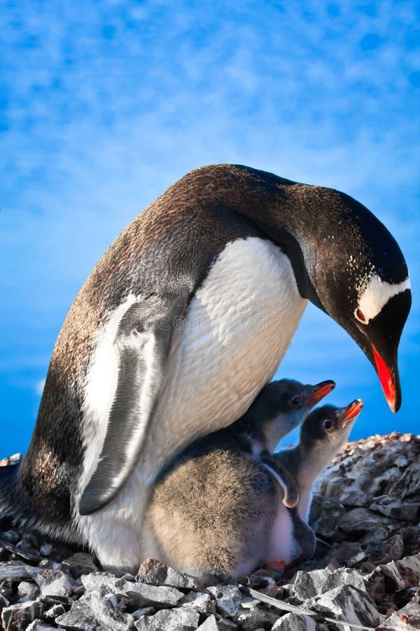 rodzinny pingwin fotografia stock