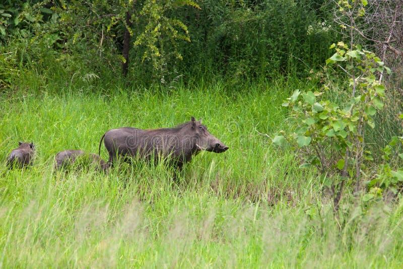rodzinny warthog zdjęcia stock