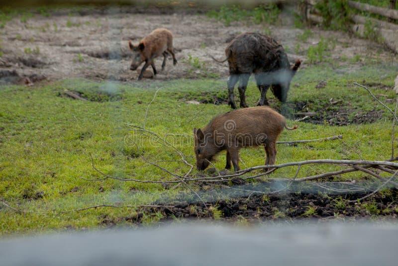 Rodziny grupa Pasa łasowanie trawy jedzenie Wpólnie brodawka wieprze obrazy royalty free