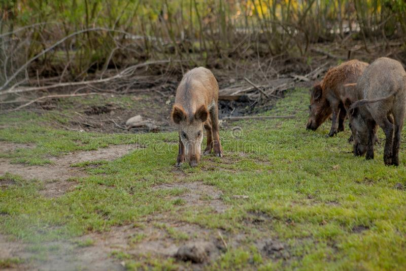 Rodziny grupa Pasa łasowanie trawy jedzenie Wpólnie brodawka wieprze zdjęcia royalty free