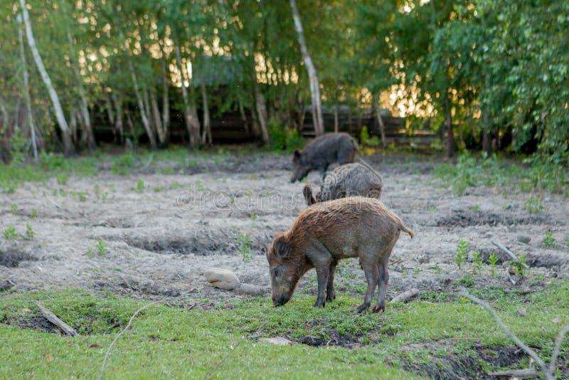 Rodziny grupa Pasa łasowanie trawy jedzenie Wpólnie brodawka wieprze zdjęcia stock