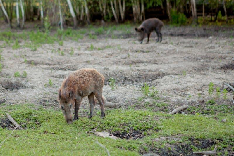 Rodziny grupa Pasa łasowanie trawy jedzenie Wpólnie brodawka wieprze obraz royalty free