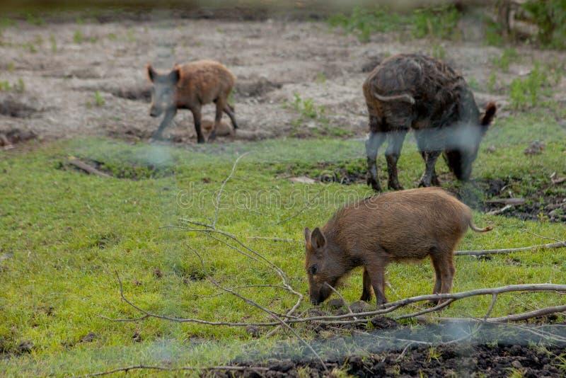 Rodziny grupa Pasa łasowanie trawy jedzenie Wpólnie brodawka wieprze zdjęcie royalty free
