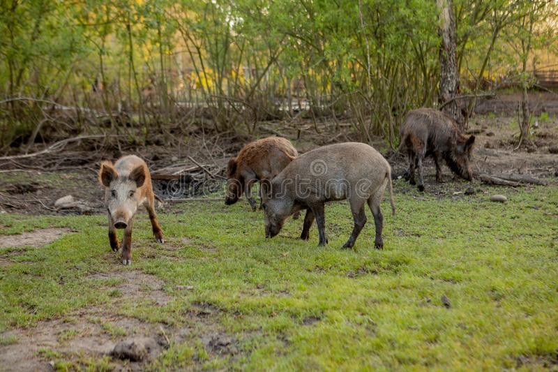 Rodziny grupa Pasa łasowanie trawy jedzenie Wpólnie brodawka wieprze fotografia royalty free