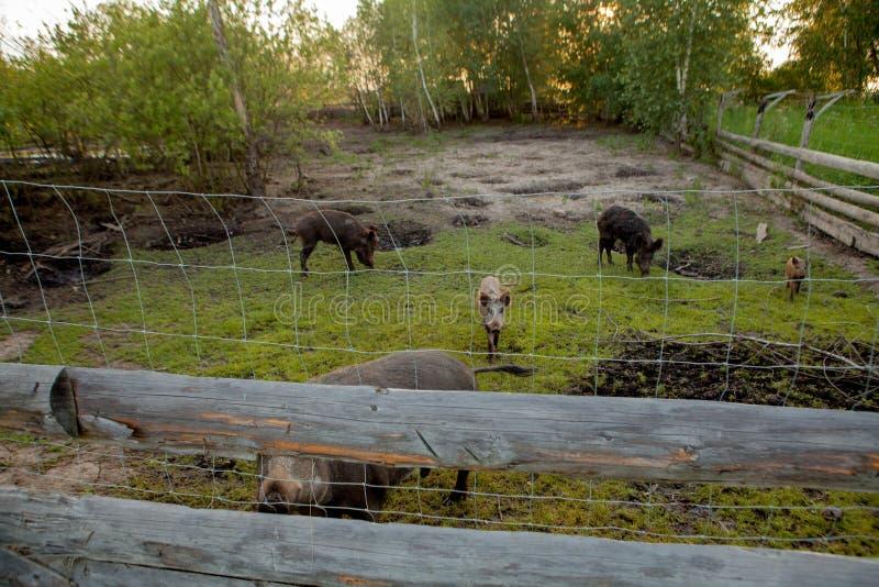 Rodziny grupa Pasa łasowanie trawy jedzenie Wpólnie brodawka wieprze fotografia stock