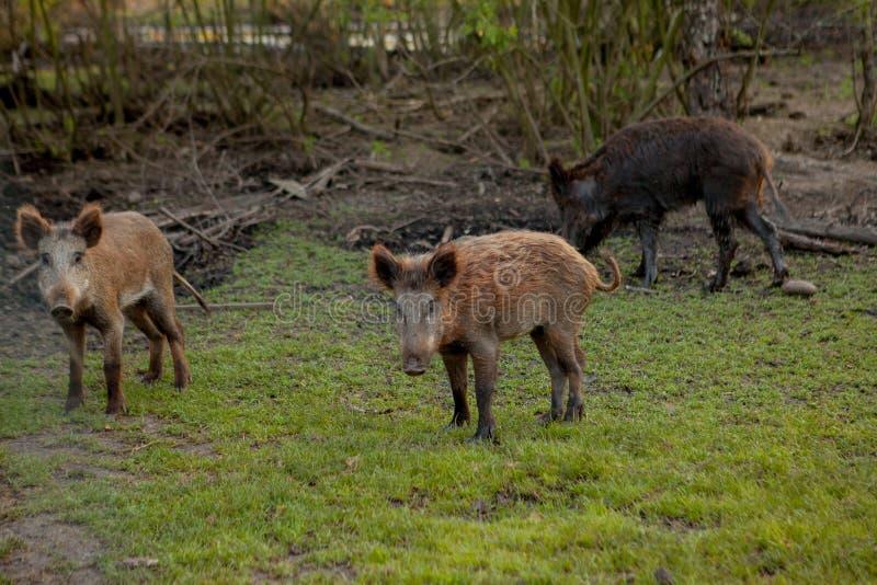 Rodziny grupa Pasa łasowanie trawy jedzenie Wpólnie brodawka wieprze zdjęcie stock