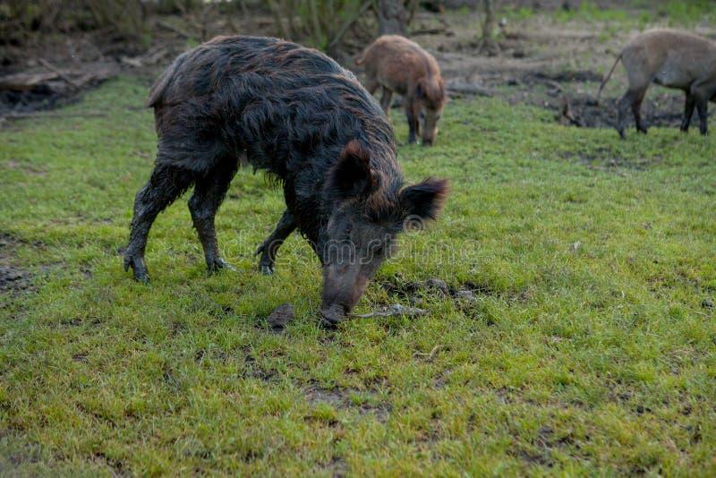 Rodziny grupa Pasa łasowanie trawy jedzenie Wpólnie brodawka wieprze obraz stock