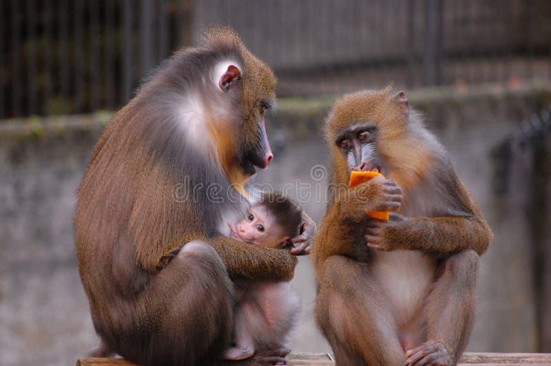 rodziny małpa obraz royalty free