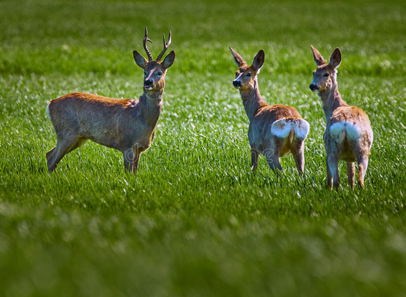 Roe buck and deer family. Roebuck and deer family on a wheat field stock photos