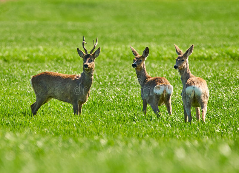 Roe buck and deer family. Roebuck and deer family on a wheat field stock images