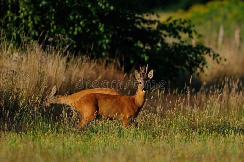 Roe buck with female in summer royalty free stock image
