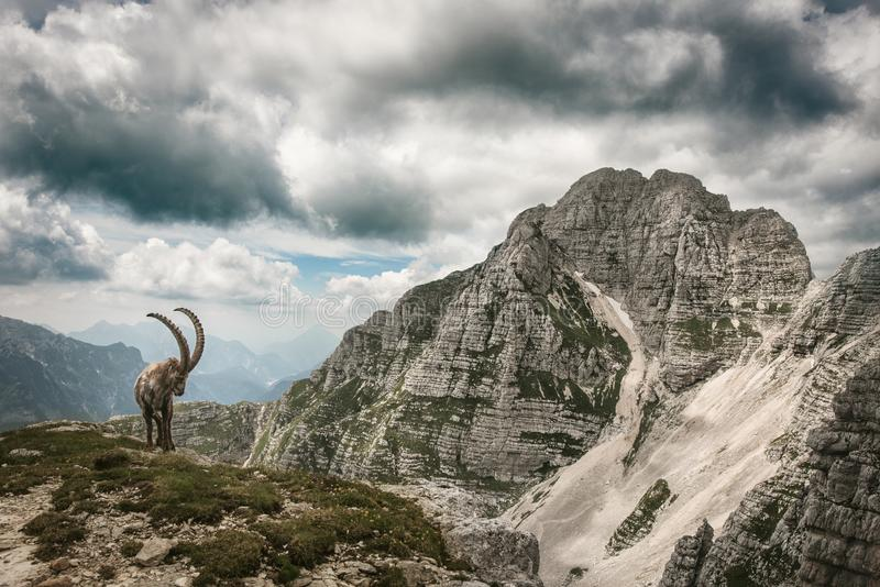 Roe capricorn in the Julian Alps. A male roe capricorn with long horns in front of Mt. Montasio, Julian Alps, Friuli Venezia Giulia, Italy royalty free stock image