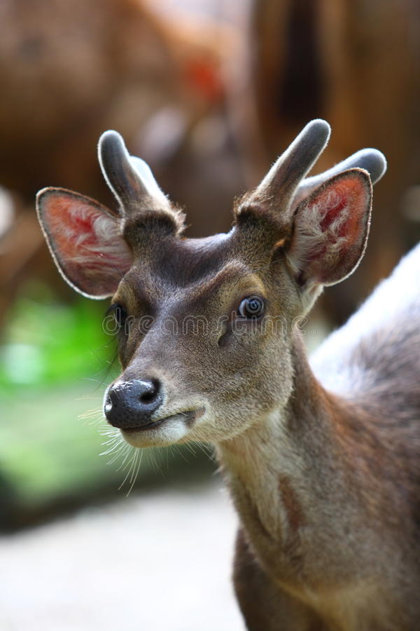 Roe Deer royalty free stock images