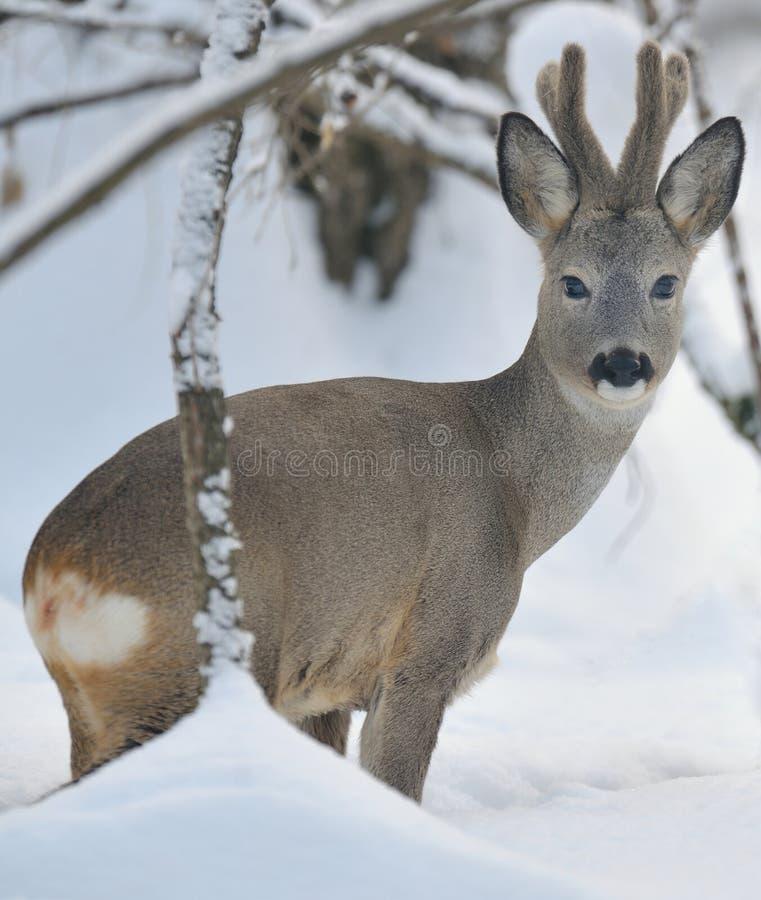 Download Roe deer stock photo. Image of animal, deer, wildlife - 26351706
